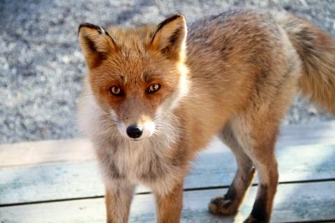 fox161