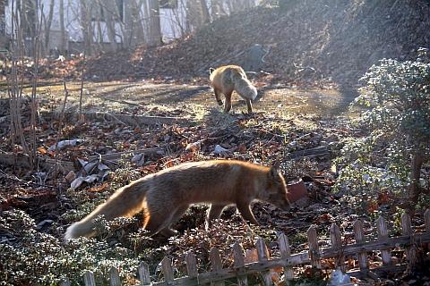 fox162