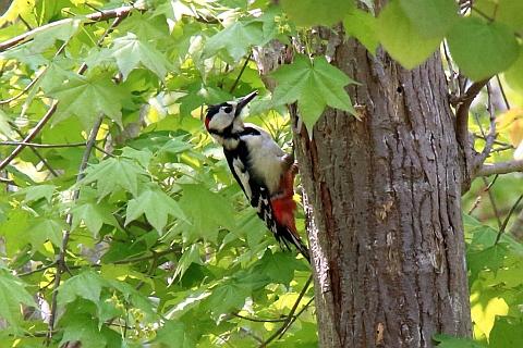 woodpecker161